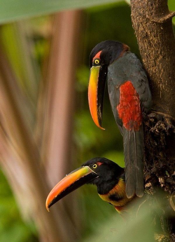 ptica tukan